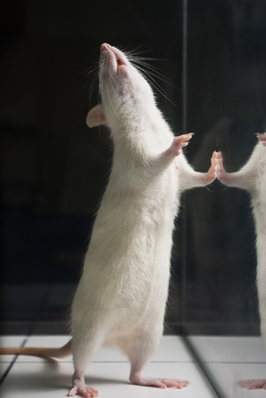 albino: white (albino) laboratory rat standing on two feet on board during experiment