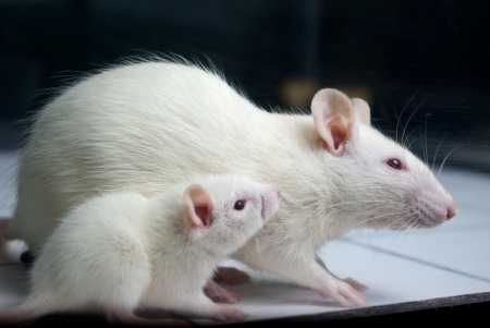 albino: white (albino) rat with baby rat on open field board