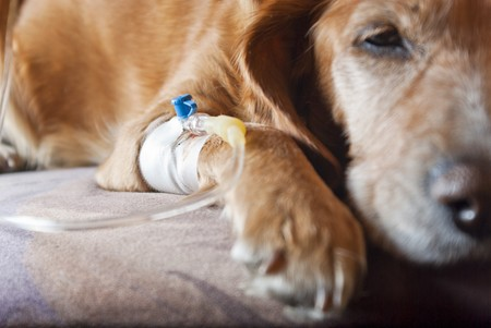 pet therapy: dog lying on bed with cannula in vein taking infusion