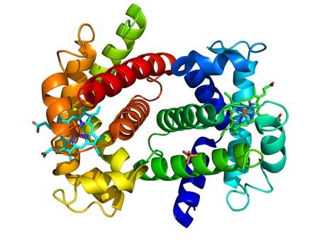 haemoglobin: Human oxyhemoglobin molecular structure