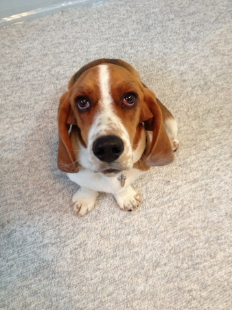 sam: Beagle