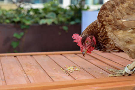 A brown chicken on the top of a chicken coop eating seeds