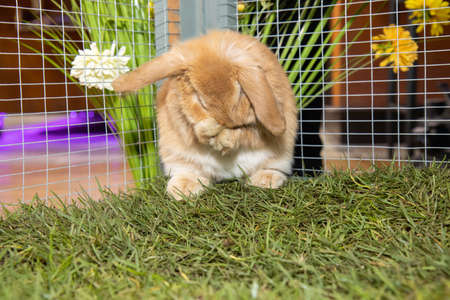 A very cute brown little easter bunny rabbit in a pen or cage