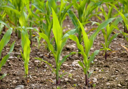 corn stalk: Young corn crop at spring