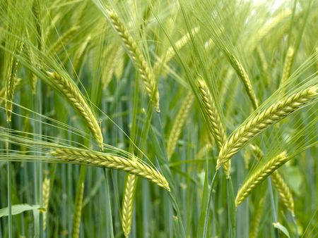 Close up of a Green durum wheat field