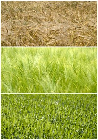 composite picture of a wheat durum field showing the evolution from  Spring to Summer Stock Photo - 3188886