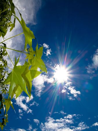 against the sun: Sweetgum tree against spring sun