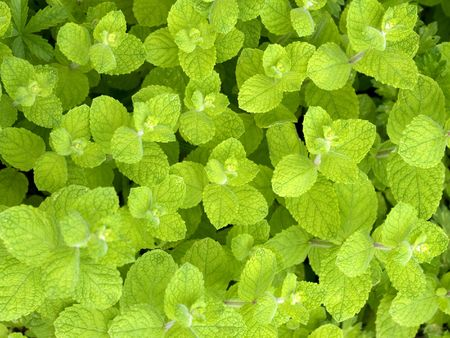 wild mint: Macro pictures  of a fresh wild mint group