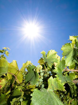 Vineyard against bright summer sun with blue sky Stock Photo