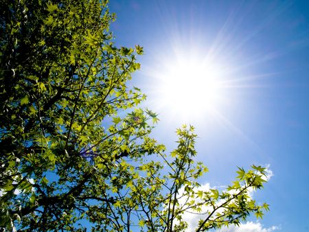Beautiful sweetgum tree against bright sun at spring Stock Photo - 3425288
