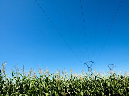 Power lines and corn crops during summer photo