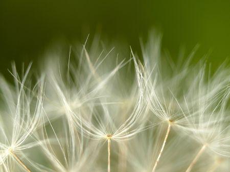 Extreme macro of a dandelion