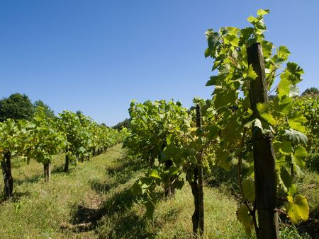 Vineyard under blue sky in southern France Stock Photo