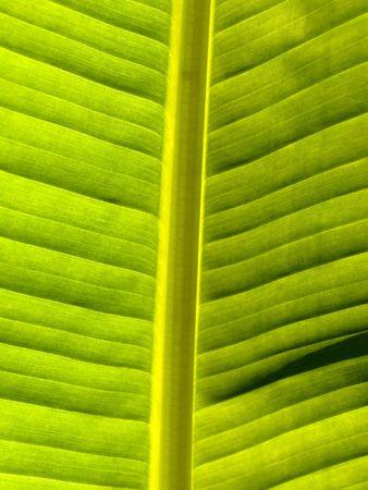 back lit: Macro of a banana leaf back lit Stock Photo