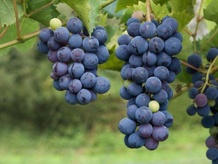 dark grapes in vineyard in France