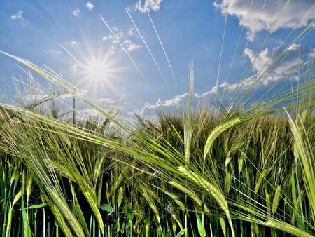 Green wheat field at spring under the sun Stock Photo - 4011905