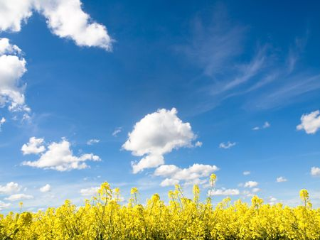 Rapeseed field at spring under blue sky and clouds Stock Photo