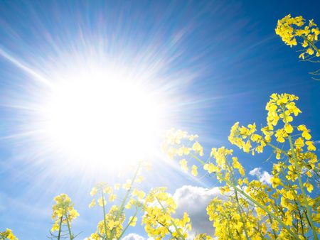 Rapeseed field at spring with sparkling sun Stock Photo