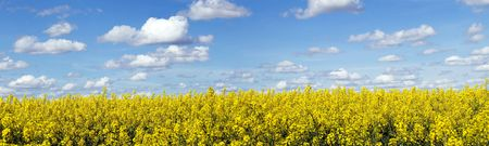 Panoramic landscape of a rapeseed field under blue sky Stock Photo
