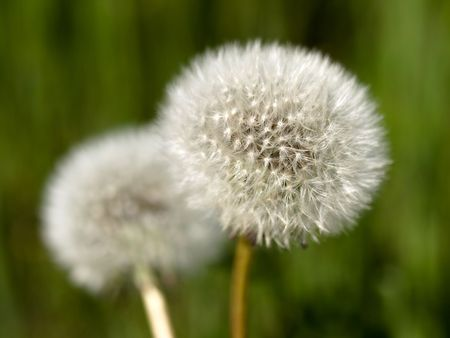 two dandellions clocks at spring with shallow depth of field