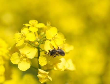 Macro of a bee on a rapeseed plant Stock Photo