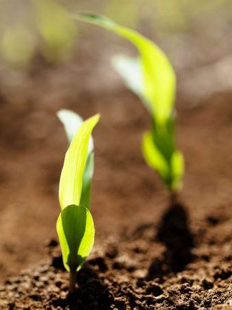 Young corn crop at spring