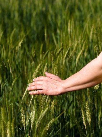 Closeup of a woman hand touching green barley ears