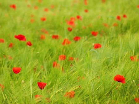 Fresh green young barley  field with poppies Stock Photo