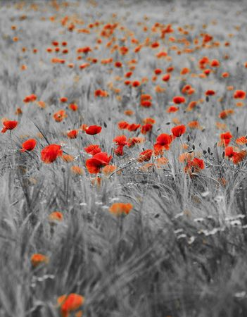 Fresh green young barley  field with poppies selective coloring Stock Photo