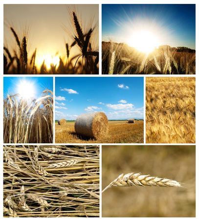Collage  of wheat pictures  at summer in the countryside