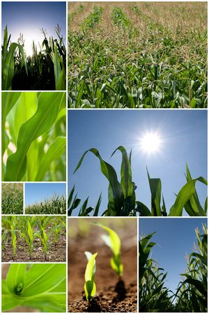 Collection of green corn field pictures photo