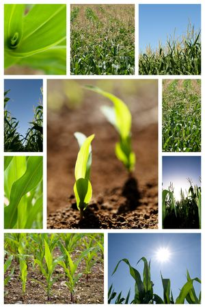 Collection of green corn field pictures