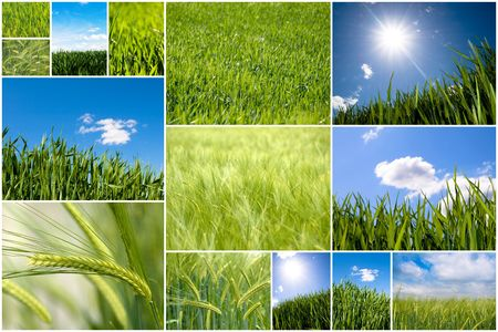 Collection of green wheat field pictures
