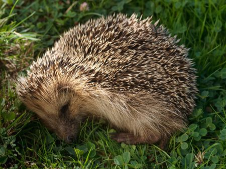 hedgehog sleeping on a fresh green grass in the morning