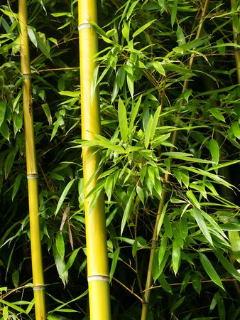 Two bamboo shoots with green leaves in a garden Stock Photo - 5615261
