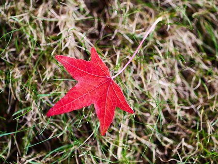 Beautiful red leaf lying on the grass  with selective focus photo