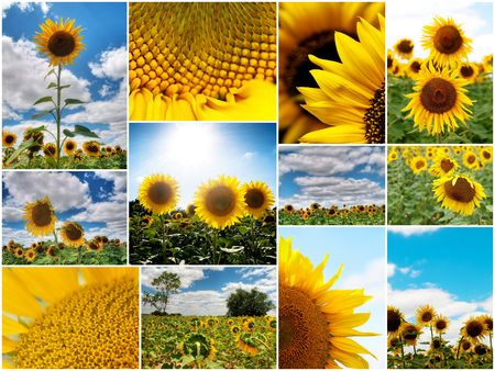 Collage of several colorful  sunflower pictures with white border photo