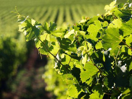 Vineyard in Saint Emilion in France
