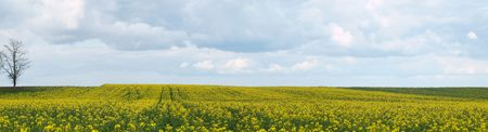 Panoramic view of a rapeseed field at spring under cloudy sky