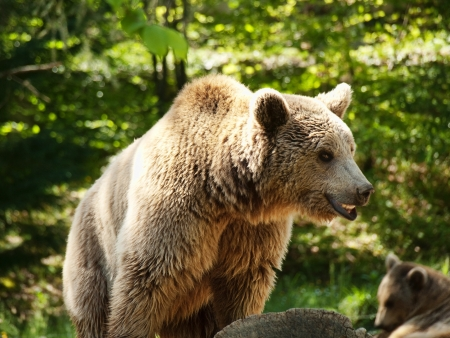One of few brown bears living in the French pyrenees mountains
