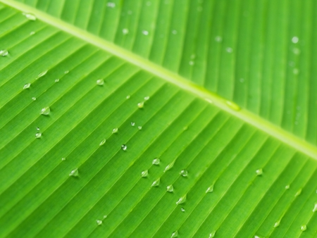 Macro of a banana leaf with fresh  rain drops in Malaysia Stock Photo