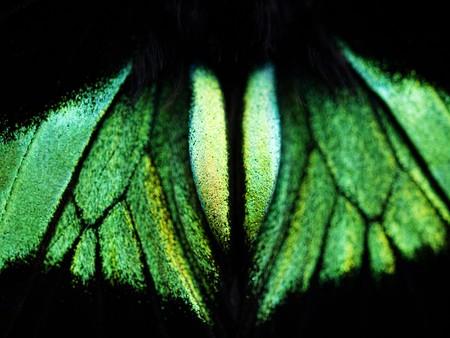 rajah: Macro of a green tropical butterfly in Malaysia Rajah Brooke