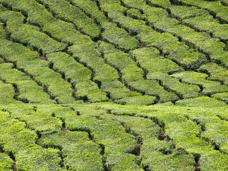 Abstract landscape background of tea plantations in Cameron Highlands in Malaysia Stock Photo - 7462603