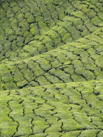 Abstract landscape background of tea plantations in Cameron Highlands in Malaysia Stock Photo - 7462602