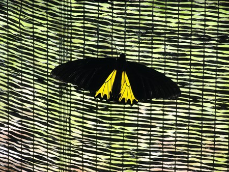 rajah: Yellow tropical butterfly in Malaysia Rajah Brooke resting on a fence