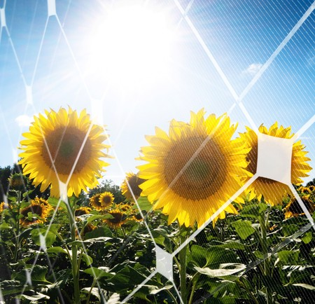Sunflower field against the sun with photovoltaic panel pattern