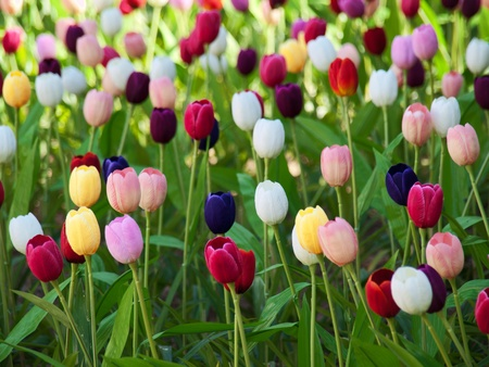 Field of tulips Stock Photo - 8790419
