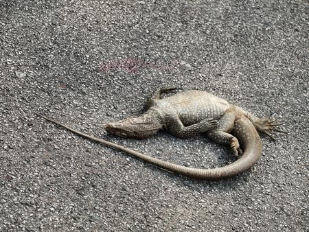 Dead iguana Stock Photo - 9342769