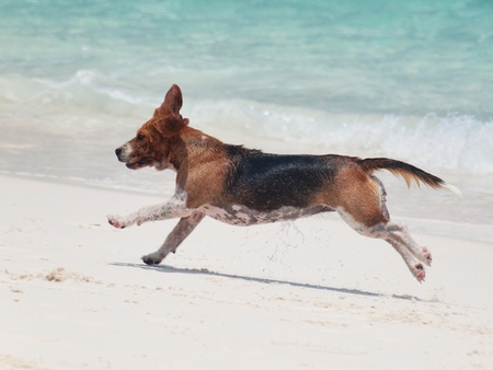 Running dog on the beach