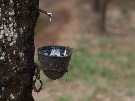 sap: Rubber tree